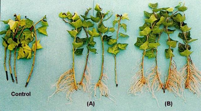Cultivo de tejidos usando ápices de raíces