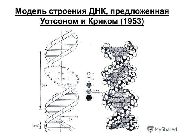 Описание модели строения ДНК