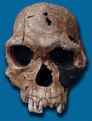 Homo habilis (hace 2300000-1800000 años)