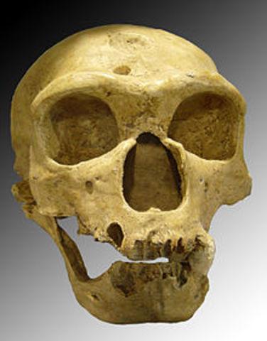 Homo neanderthalensis (hace 230 mil hasta 29 mil años atrás)