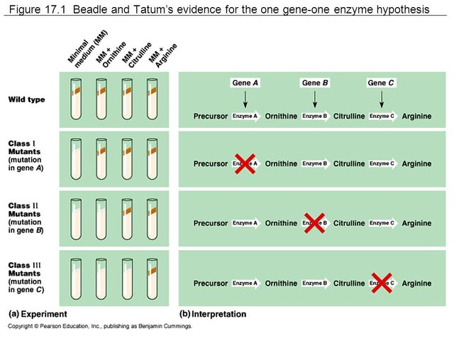 One Gene-One Enzyme Hypothesis