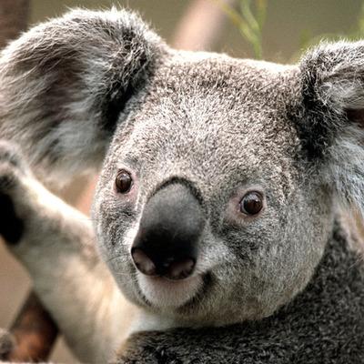 koala timeline