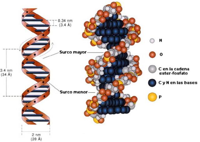 Descripción del ADN