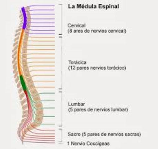 Medula espinal.