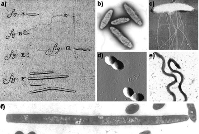 Anton Van Leeuwenhoek: Descubrimiento de bacterias