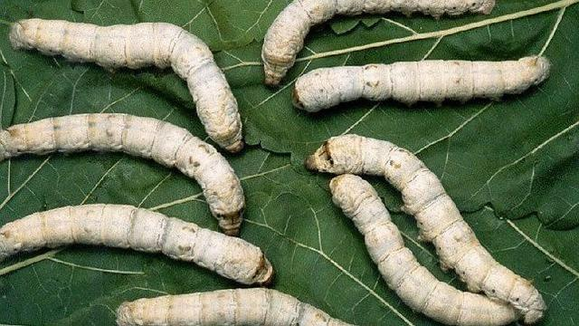 Pasteur: Rescata la industria de la seda.