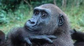 Dian Fossey timeline