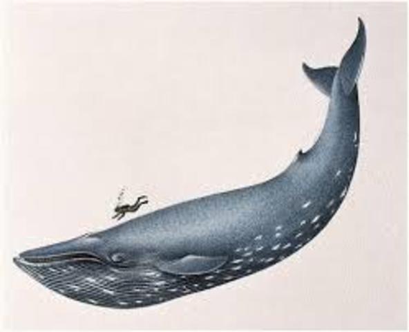 Inicio de la moratoria de diez años a la caza comercial de ballenas
