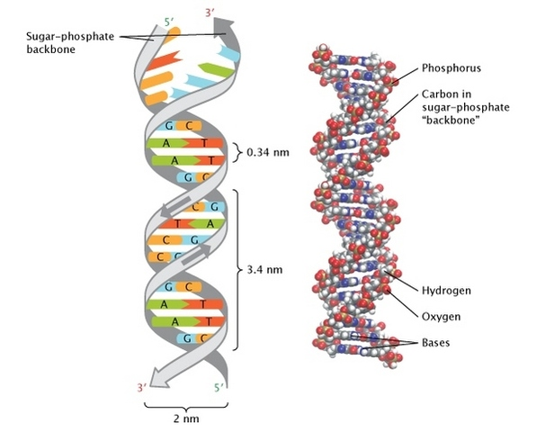 Watson and Crick propose the double helix model of DNA structure