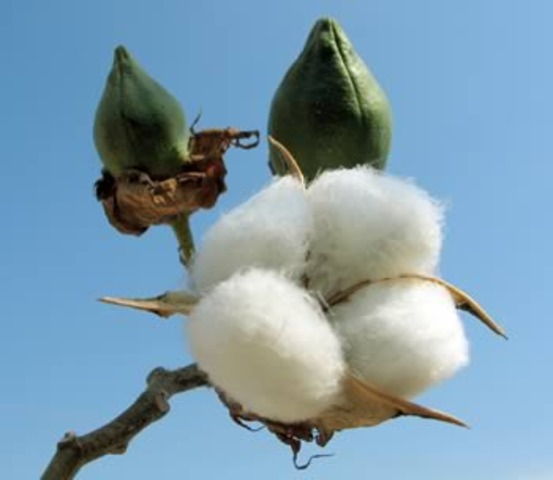 Cotton from the United States