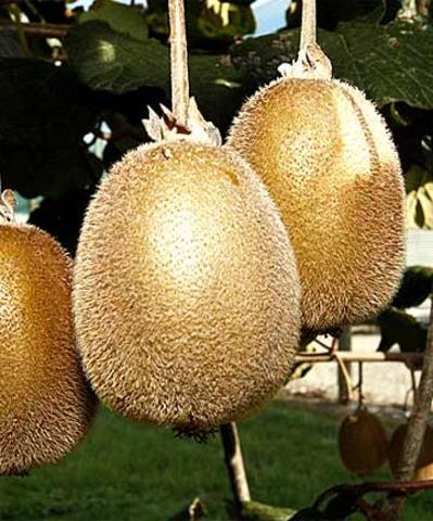 Fears for NZ's Kiwifruit industry (national)