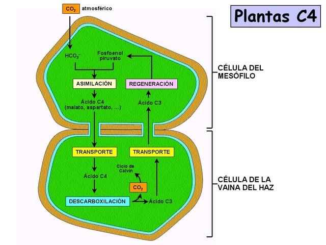 El metabolismo de las plantas