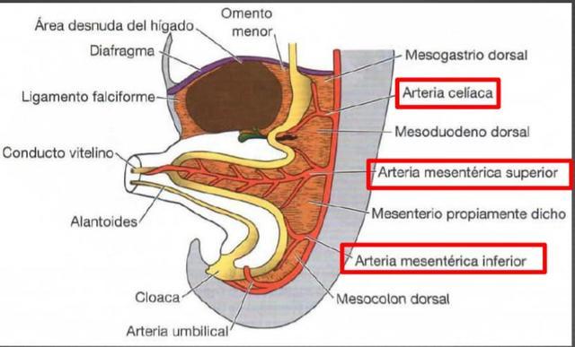 Embriologia Del Aparato Digestivo timeline | Timetoast timelines