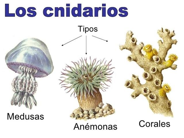 Diversidad de los Cnidarios