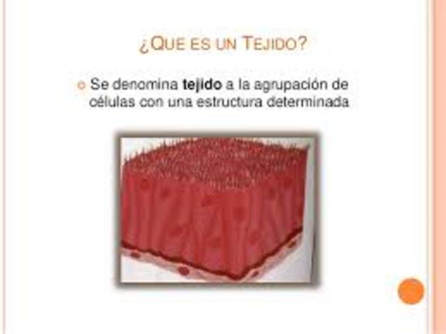 Tejidos Del Cuerpo Humano timeline | Timetoast timelines