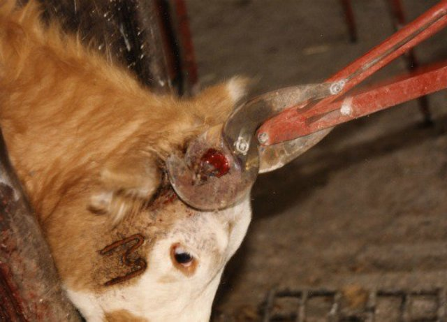 Ley de tratamiento cruel al ganado