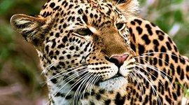 Amur Leopard timeline