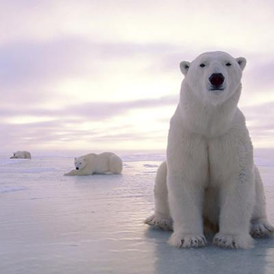 Polar Bear Timeline