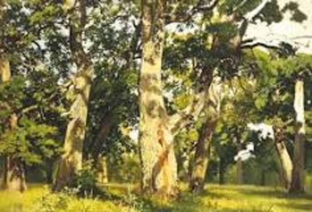 Oak evening (Naturalism)