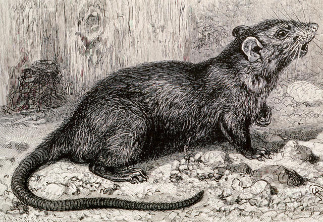 Rats & Fleas of the Black Death