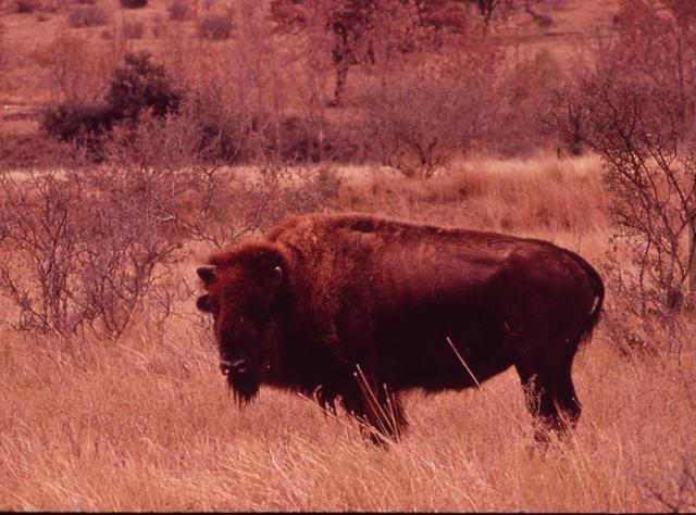 Buffalo on Bell Ranch - photograph