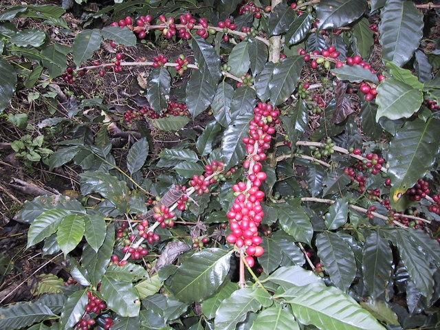 Llegada del café a México