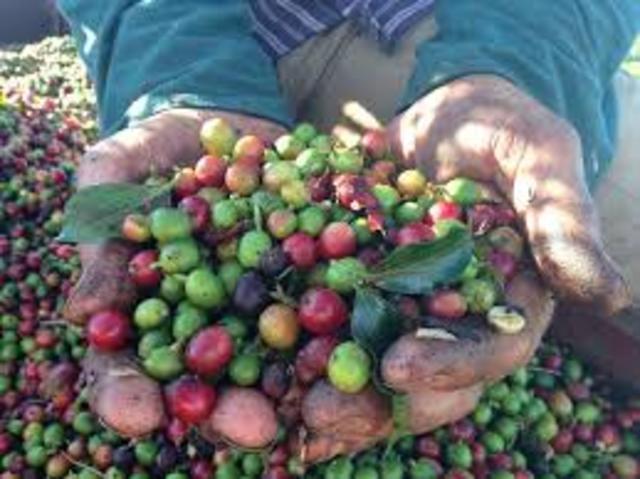 Desestabilización y decremento de los precios del café Veracruzano (1989-2002)