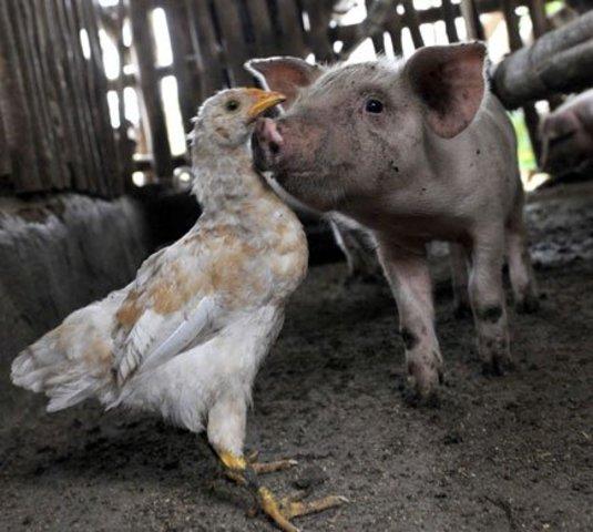 Inclusión de cerdo y gallina en la alimentación indigena