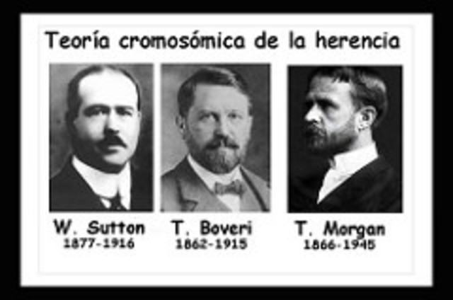 W. Sutton, T. Boveri y T.H Morgan