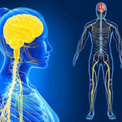 Evolución del sistema nervioso y el cerebro. timeline