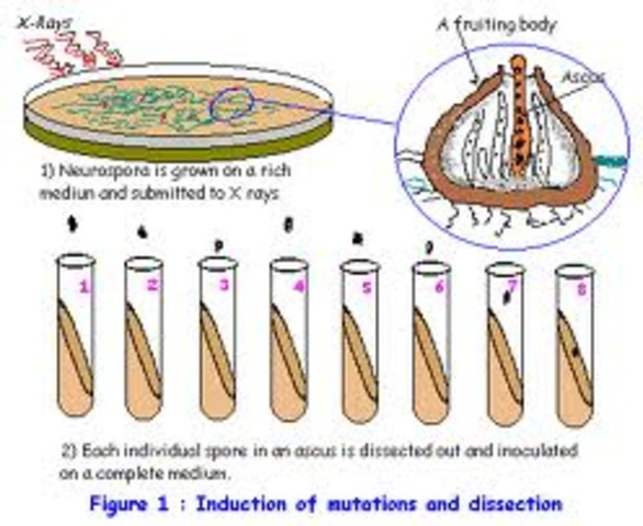 Gene and Enzyme Hypothesis