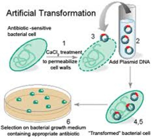 Transformation of Bacteria