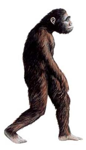 Australopithecus 3.3-1.8 million BCE