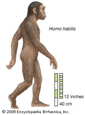 Homo Habilis- 1.8 to 1.6 million B.C.