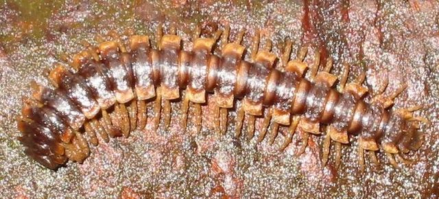 Millipedes have evolved--first land animals