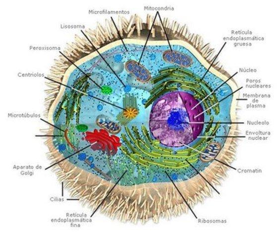 eucariota pluricelular