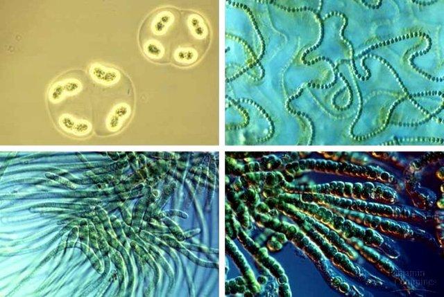 (3BYA) Cyanobacteria and lynbgya