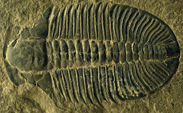 (3.5 BYA) Fossils