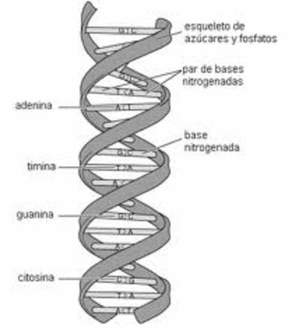 ADN doble helice