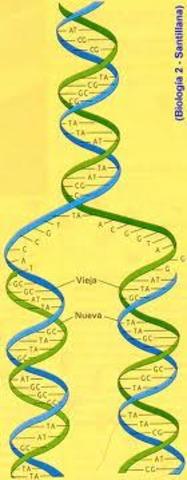 duplicacion del ADN es semiconservativa