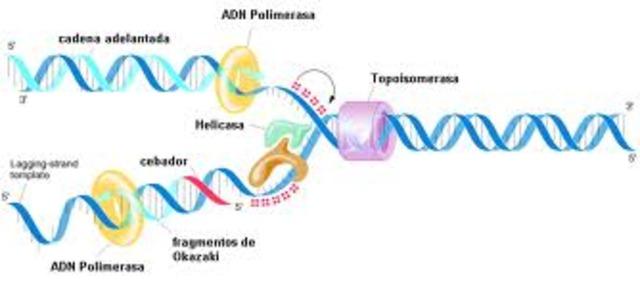 reacción en cadena de la polimerasa