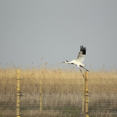 The Flight of the Whooping Crane timeline