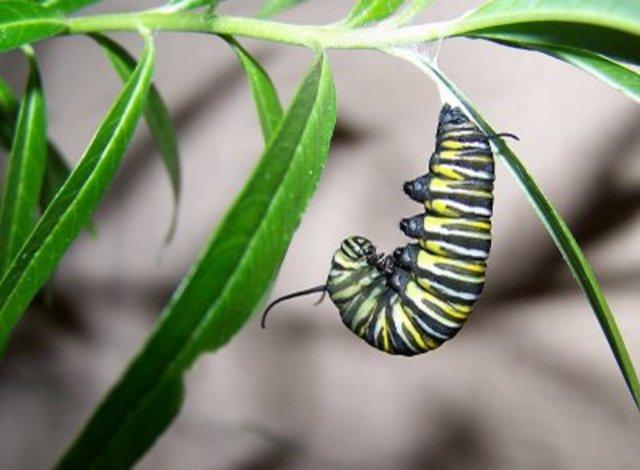 Catterpillar Creates Cocoon