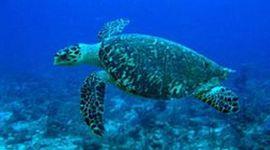 Life of a Sea Tutrle timeline