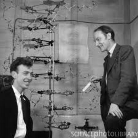 Watson i Crick dedueixen l'estructura del DNA
