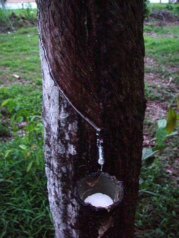 Descubrimiento del árbol del caucho