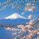 Shinto mtfuji cherryblossoms
