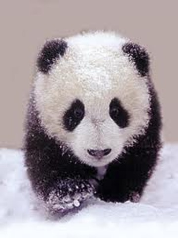 Panda can see and now begins to walk.