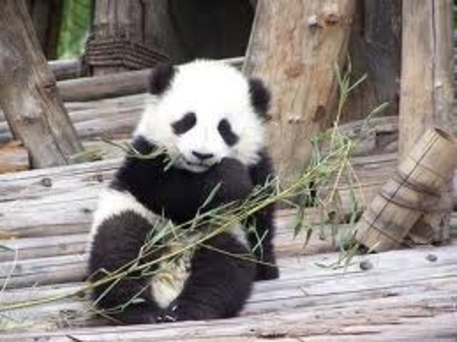Panda is now purely eating bamboo, and gets food for itself.