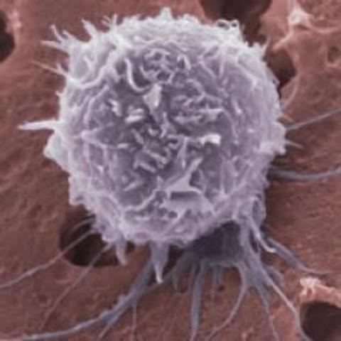 Gran descubrimiento sobre las células madre